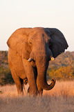 Elephant bull walking in nature Stock Photos