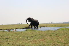 Elephant bull walking out of the Chobe river Stock Image