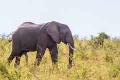 Elephant bull walking in the savvana Royalty Free Stock Photography