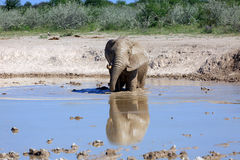 Elephant. Bull elephant at the water hole Royalty Free Stock Photos