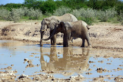 Elephant. Bull elephant at the water hole Stock Images