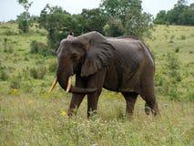 An elephant bull. A wet elephant bull in the savanna in Kenya Stock Photo