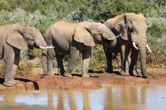 Elephant Bulls Stock Photo
