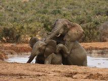 Elephant bulls. Royalty Free Stock Images