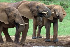Elephant Bulls Drinking Royalty Free Stock Photos