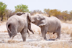Elephant bulls (Elephantidae) Stock Photos