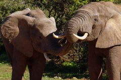 Elephant Bulls sharing water. Addo Elephant National Park, South Africa Stock Photo