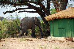 An elephant between the bungalows in the savannah-Tanzania-Afric Stock Photography