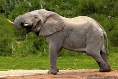 Elephant in the bush. African elephant walking through dense bush in safari park Stock Image