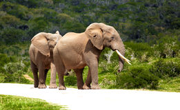 Elephant in the bush. African elephant walking through dense bush in safari park Stock Photography