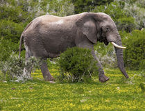Elephant in the bush. African elephant walking through dense bush in safari park Royalty Free Stock Images