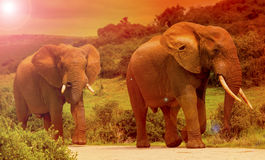 Elephant in the bush. African elephant walking through dense bush in safari park at sunset Stock Photos