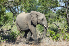 Elephant in the bush Stock Images
