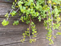 Elephant Bush Hanging from Garden Wall Royalty Free Stock Photo