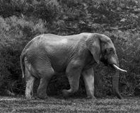 Elephant in the bush. Image of a elephant bull walking in the South African bush Stock Photos