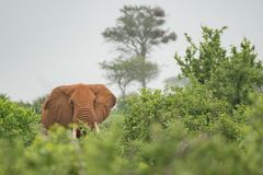 Elephant on the bush in Kenya stock photo