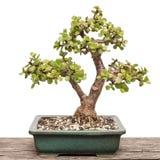 Elephant bush Portulacaria afra as bonsai tree Royalty Free Stock Image