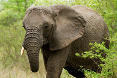 Elephant in the Bush in South Africa Stock Image