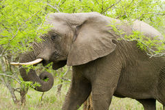Elephant in the Bush in South Africa Stock Photography