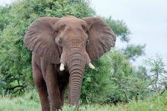 Elephant in the bush Royalty Free Stock Image