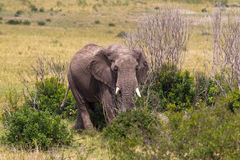 Elephant in the bush thickets. Kenya. Portrait of big elephant. Bush thickets. Masai Mara, Kenya Royalty Free Stock Photos
