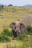 Elephant in the bush thickets. Royalty Free Stock Images
