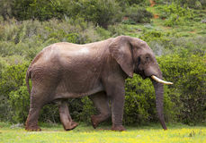 Elephant in the bush. Two elephant walking on the road in a safari park in South Africa Stock Photo