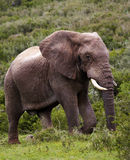Elephant in the bush. Royalty Free Stock Images