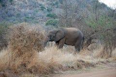 Elephat in Pilanesberg National Park. Elephant in the bushes, eating, in Pilanesberg National Park, South Africa Stock Image