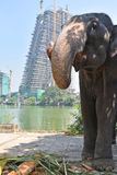 Elephant at a busy city Stock Photography