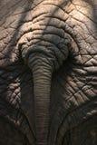 Elephant Butt. Closeup of an elephant rear end Stock Photos