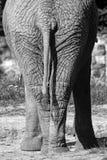 Elephant  buttocks Royalty Free Stock Image