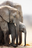Elephant calf. Baby elephant stand protected between cow and bull; Loxodonta Africana; Etosha Royalty Free Stock Image