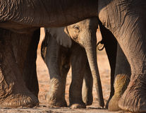 Elephant calf. Baby elephant seen through adult's legs; Loxodonta Africana; Etosha Royalty Free Stock Images