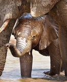 Elephant calf. Baby elephant in the water under mother's head; Loxodonta Africana; Etosha Stock Photography