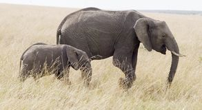 Elephant and calf. An elephant and baby stroll across the Masai Mara plains of East Africa Royalty Free Stock Image