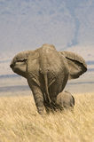 Elephant and calf. A mother elephant and her calf walking together in Kenya's Maasai Mara Stock Images