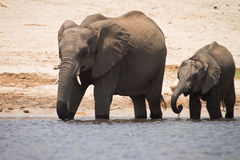 Elephant with calf Stock Photo