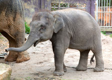 The elephant calf. In park Khao Lak, Thailand Stock Images