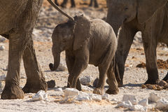 Elephant calf Stock Photos