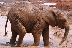 Elephant Calf. At David Sheldrick Wildlife Trust, Nairobi, Kenya Royalty Free Stock Image