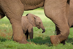 Elephant calf. A small elephant calf walking behind its mother's feet in summer Royalty Free Stock Image