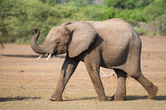 Elephant calf Royalty Free Stock Photo
