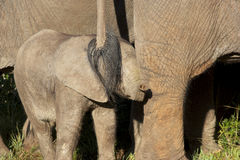 Elephant Calf. An Elephant calf hiding under a tail, Addo Elephant National Park Stock Photos