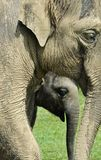 Elephant & Calf Stock Photos
