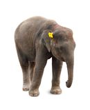 Elephant calf Royalty Free Stock Photography