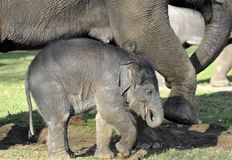Elephant and Calf. Baby Elephant and Mother both with front foot raised Stock Photo
