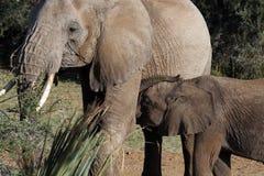 Elephant with calf. Closeup of elephant with young calf, Samburu National Reserve, Kenya, Africa stock photo
