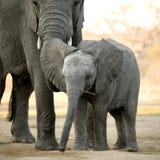 Elephant calf Stock Photography