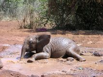 Elephant Calf. Baby elephant playing in water Royalty Free Stock Photo
